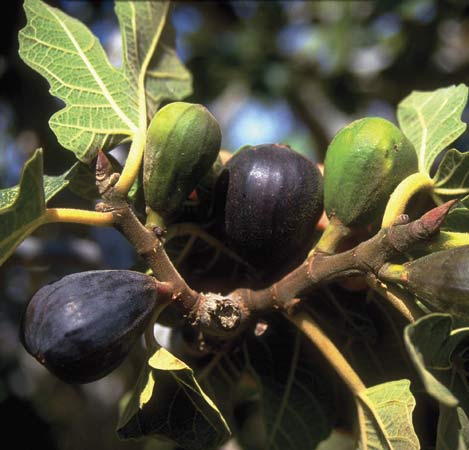 Was Jesus Too Harsh In Cursing The Fig Tree Delight In Truth